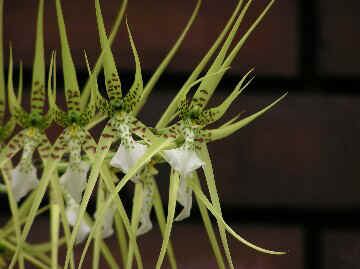 050709Brassia Vercosa up.jpg (31136 バイト)