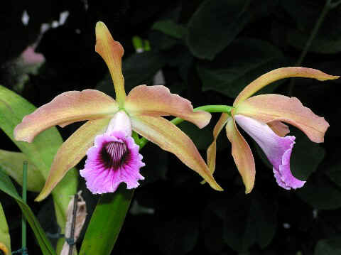 070701L. tenebrosa Rainforest X Yellow Strain.jpg (46055 バイト)